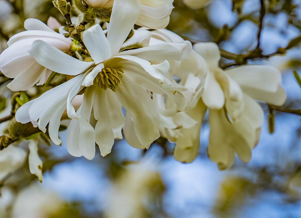 FOTD – December 27 – Magnolia Blossom