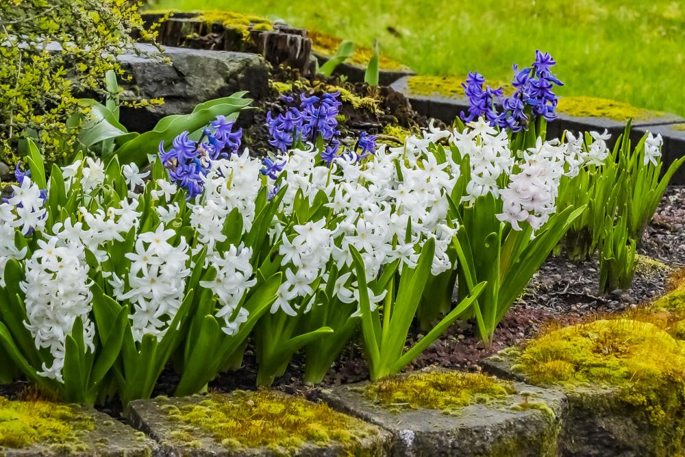 FOTD – December 29 – Hyacinths