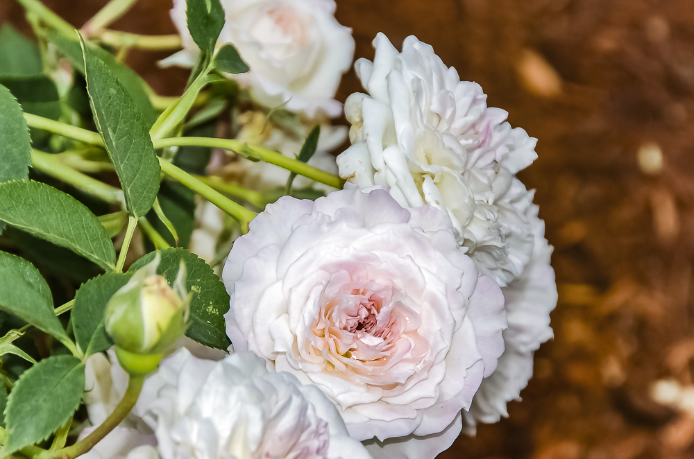 FOTD – December 31 – Roses