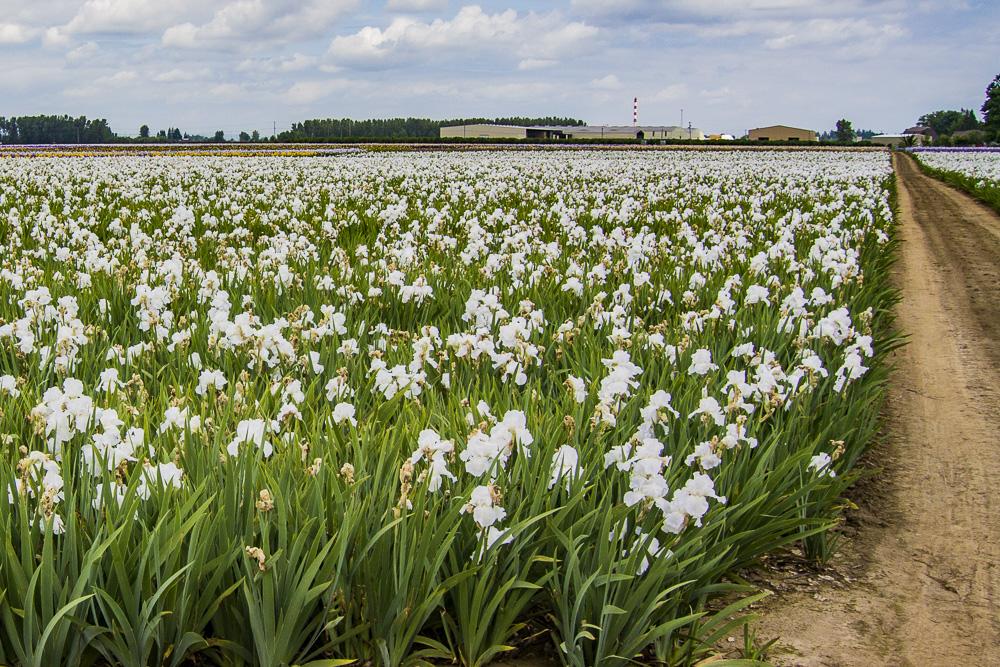 FOTD – January 4 – Iris Field
