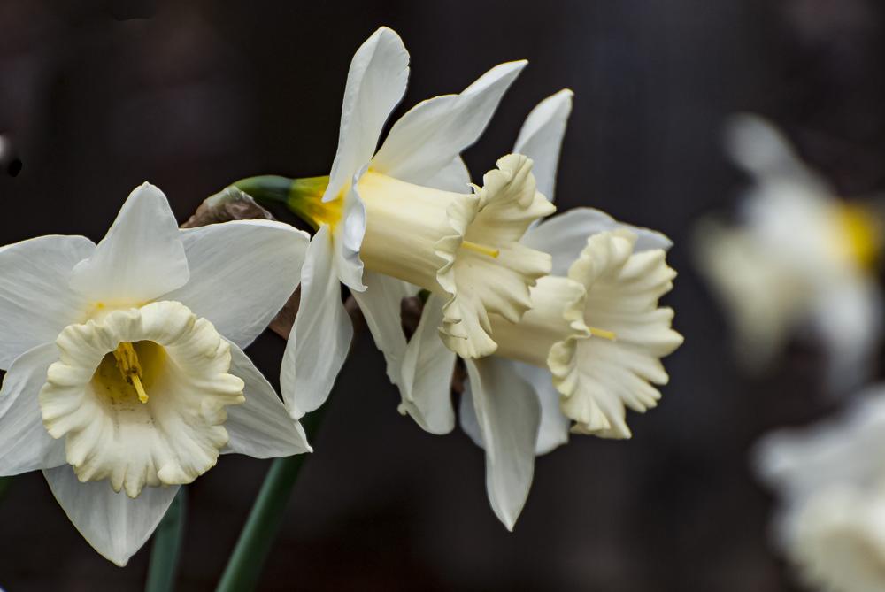 FOTD – January 5 – Daffodils