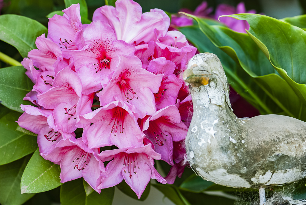 FOTD – January 17 – Rhododendron and Friend