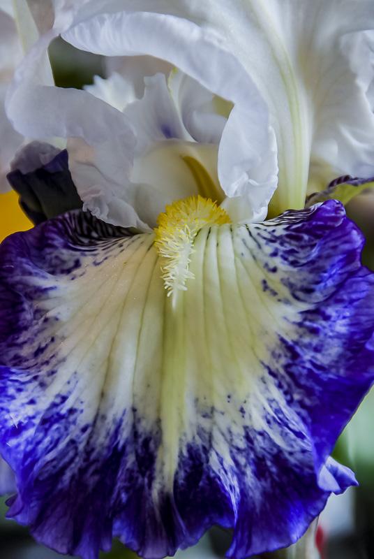 FOTD – January 20 – Bearded Iris