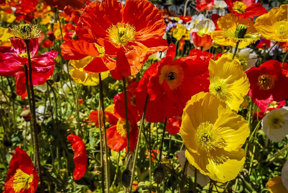 FOTD – January 21 – Poppies